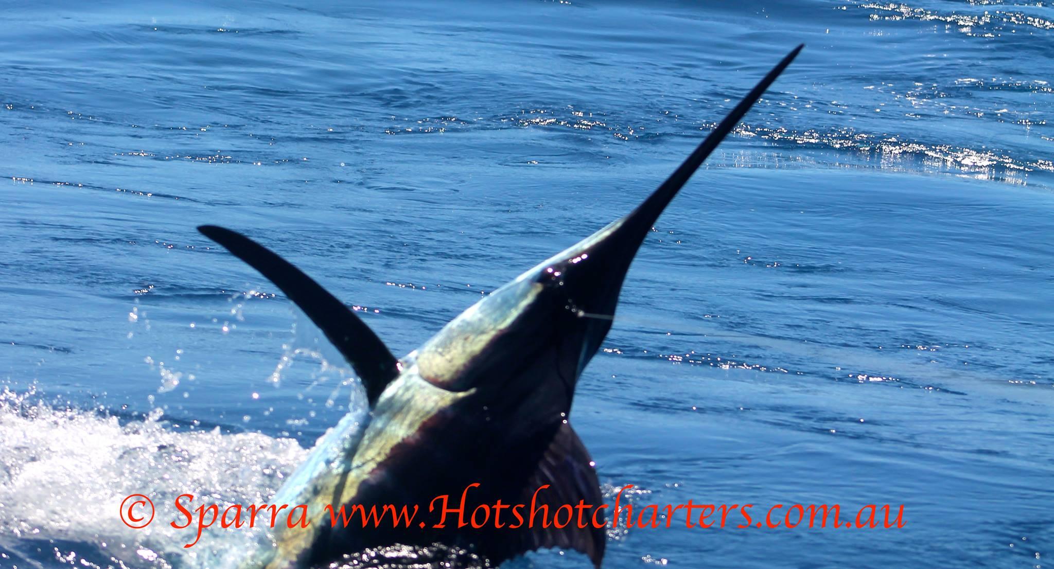 Gold coast marlin fishing report 26 feb hotshot charters for Marlin fishing charters