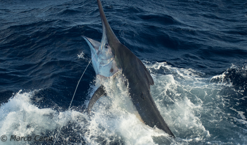 giant black marlin