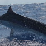 aint Black Marlin