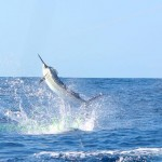 Blue Marlin Fishing Gold Coast