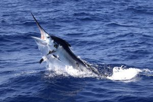 Marlin Fishing for Black Marlin