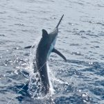 Hotshot Charters heads to Great Barrier Reef in Pursuit of Giant Black Marlin