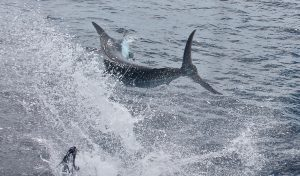 Side blue marlin