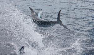 Side blue marlin