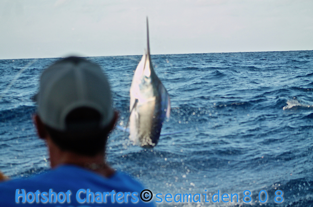 Black marlin
