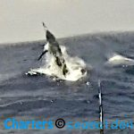 Giant Black Marlin on Board Hotshot Charters