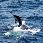 Fantastic start for the Gold Coast marlin fishing season