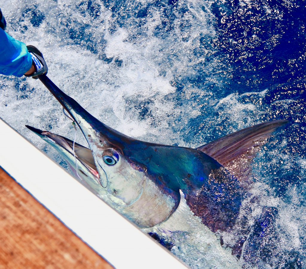 Blue marlin on light tackle HotShot Charters
