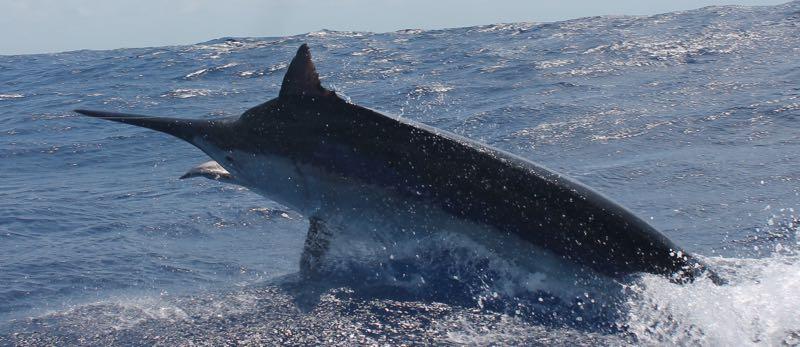 aint Black Marlin