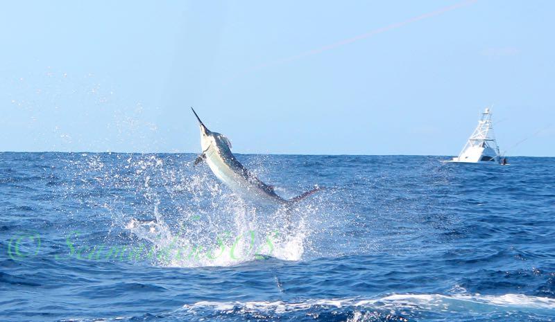 Blue Marlin Fishing Gold Coast