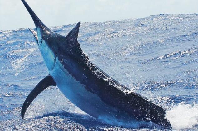 Heavy Tackle Marlin Fishing