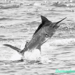 Jan Fishing Report and News 31 tagged and released billfish